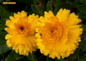 Marigolds and Fly