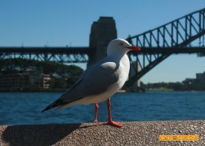 Gull at Sydney Harbour